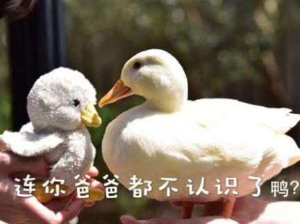 抖声捉鸭 抓几个表情包 大图下载图0